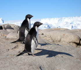 A couple of Adelie Penguins