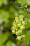 Unripe currant on branch poster