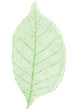green leaf, vector