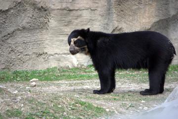 tremarctos ornatus - orso dagli occhiali