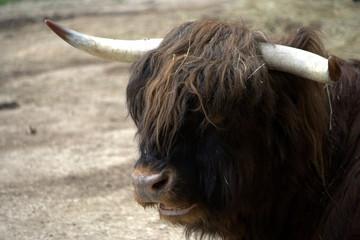 Toro di razza Highland