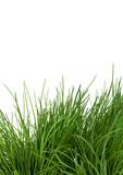 hohes Gras vor weissem Hintergrund