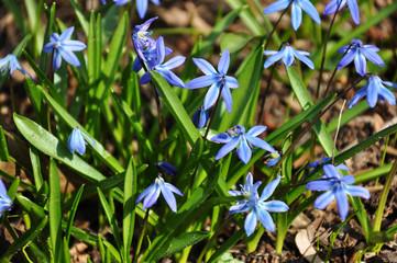 Blausternchenwiese