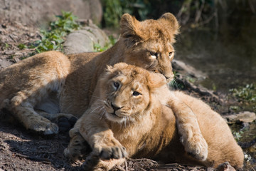 Two young lions playing