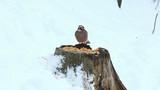 Eurasian Jay birds in winter (Garrulus glandarius) poster