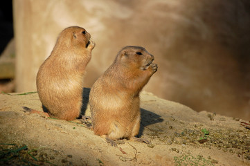 watching eating and guarding prairiedogs