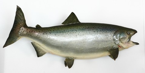 King Salmon Mount