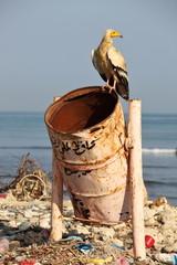 Egyptian vulture on rubbish-bin