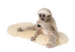 Side view of Young Pileated Gibbon, 4 months old, sitting on rug