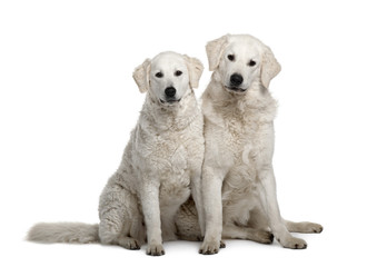 Two Kuvasz dogs, sitting in front of white background