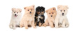 Pomeranian Puppies LIned up on White Background