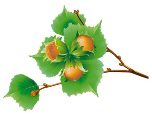 Hazelnut branch