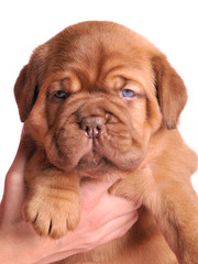 1 month old Dogue De Bordeaux puppy in female hands