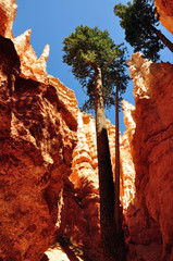 Lone pines