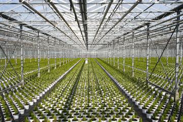 Greenhouse Conifers