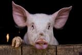 Fototapety Cochon de ferme