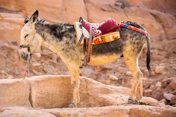 Standing donkey in Petra, Jordan