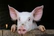 joli cochon