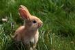 jeune lapin marron assis dans l'herbe