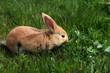 jeune lapin marron qui mange