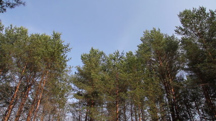 pine trees swaying in the wind