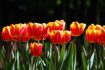 Line of softly colored red-yellow tulips on a dark background