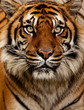Fototapeten,tiger,katze,kiefer,pelz