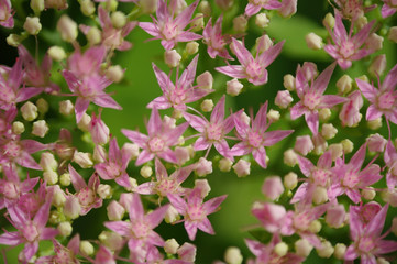 Rhodiola Rosea medicinal plant nb.11