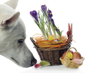 The dog smells Baskets with crocuses