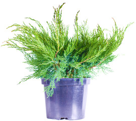 Juniper on a white background