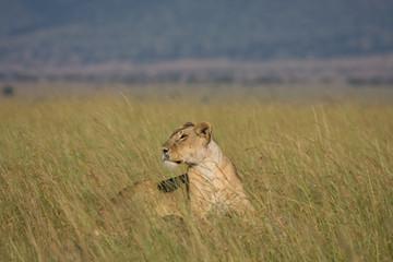 Leonessa nella Savana Africana
