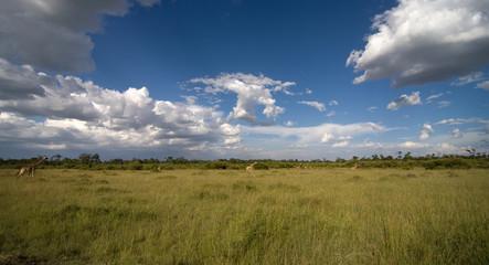Panorama savana africana con giraffe