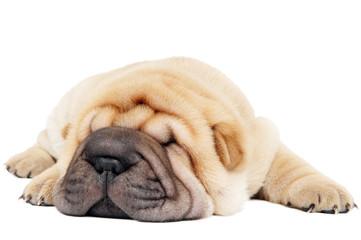 closeup young lying sharpei dog