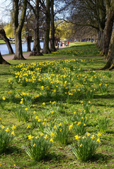 Daffs in the park 1