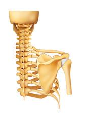 Esqueleto espalda (trazado de recorte)