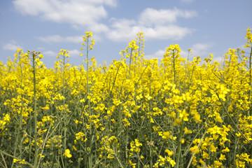 Yellow oilseed rape in southern Poland