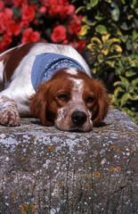 epagneul breton avec un bandana couché sur une pierre