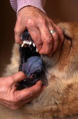 ouvrir la mâchoire du chow chow pour montre sa langue bleue