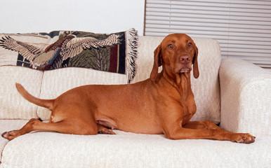braque hongrois allongé sur un canapé - vizla