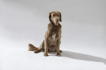 Hund, Weimaraner Langhaar