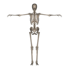 3D rendered Female Skeleton