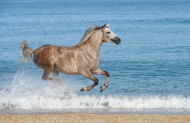 arabian horse running gallop on the sea