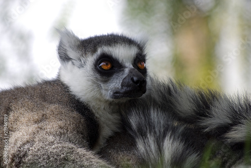 Lemur cola rayada
