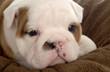 young bulldog puppy