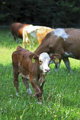 Kalb,Kühe auf der Weide