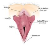 Vaginal detailliertes Diagramm