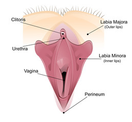 Vaginal detailed diagram