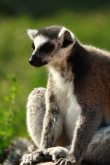 Lemur Monkey Animal Cute Fur Ape sweet