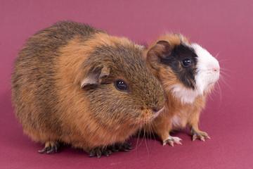 deux cochons d'inde cote à cote