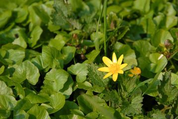 Blühendes Scharbockskraut im Frühling